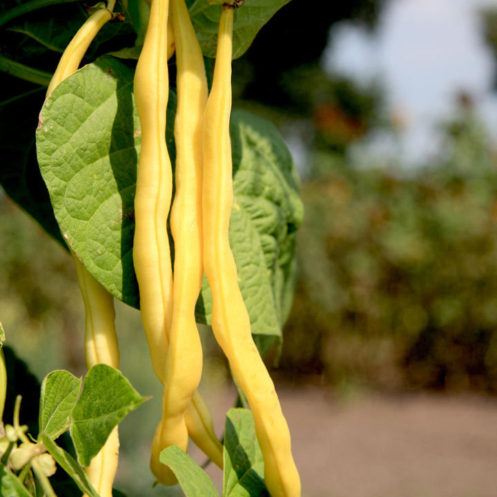 Bean Climbing French (Organic) Seeds - Neckargold