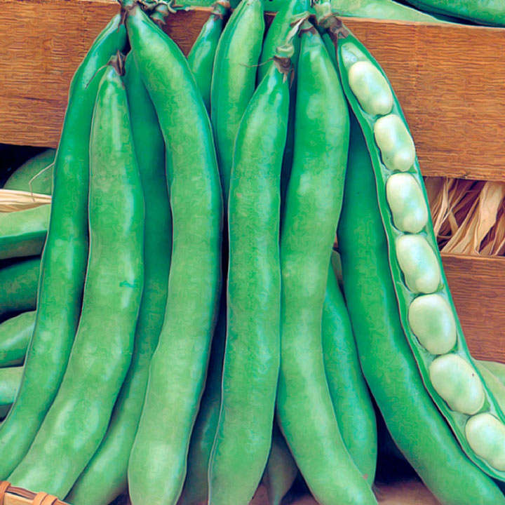 Broad Bean (Organic) Seeds - Super Aguadulce