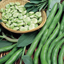 Bean (Broad) Plants - Aquadulce Claudia