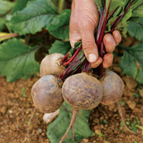 Beetroot Boltardy Offer Pack
