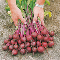 Beetroot Seeds - Action F1