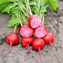 Beetroot (Organic) Seeds - Barabietola Di Chioggia