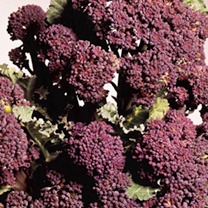 Broccoli (Sprouting) Seeds - Rudolph