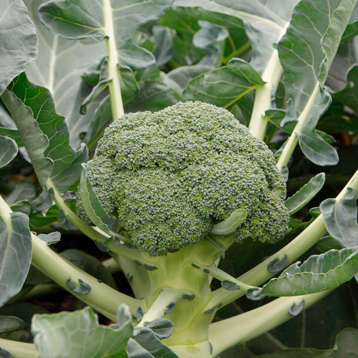 Broccoli Plants - F1 Monclano
