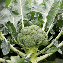 Broccoli Seeds - Monclano F1