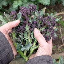 Broccoli (Organic) Seeds - Purple Sprouting Early