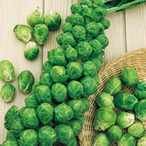 Plants of medium height packed with firm, dark green sprouts of fine flavour. The sprouts are exceptionally large, firm and of good quality! Harvest D