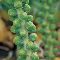 The market leading early season brussels sprout with growers and a wonderful garden variety too. Superbly flavoured, smooth tight buttons hold well on
