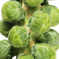 Brussels Sprout Plants - Continuity Collection