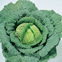 Cabbage Plants - Parese