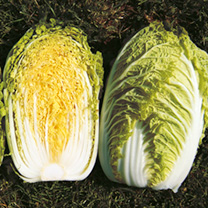 Image of Chinese Cabbage Seeds - Richi F1