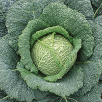 Image of Cabbage Seeds - Rigoleto F1
