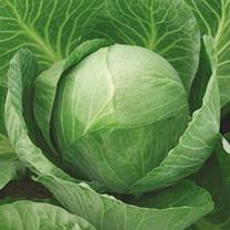 Image of Cabbage Seeds - Vivaldi F1