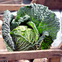 Image of Cabbage (Savoy) Seeds - Preludium F1