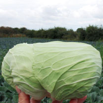 Image of Cabbage Seeds - Sarmarsh F1
