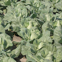 Vegetable Brassica Plants - Our Selection