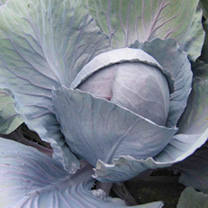 Cabbage Plants - Rodeo