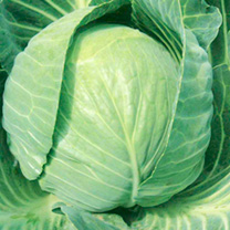 Cabbage Plant - Mozart