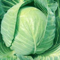 Cabbage Plants - Mozart