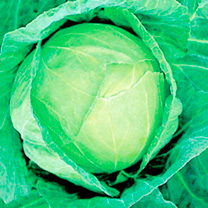Cabbage Seeds - Golden Acre