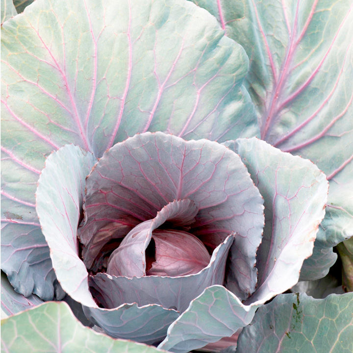 Cabbage Seeds - Red Jewel F1