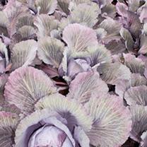 Cabbage Plant - Lodero