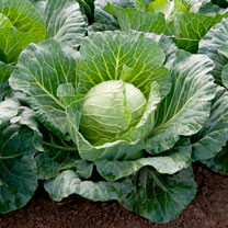 Image of Cabbage Seeds - Sunta F1