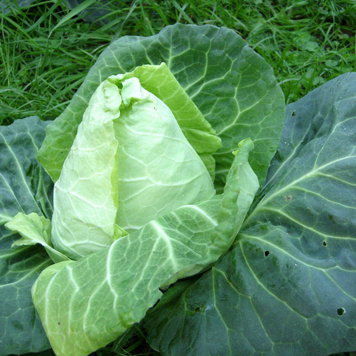 Cabbage Seeds - Advantage F1