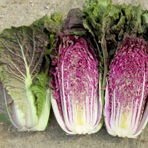 Image of Cabbage Seeds - Scarvita F1