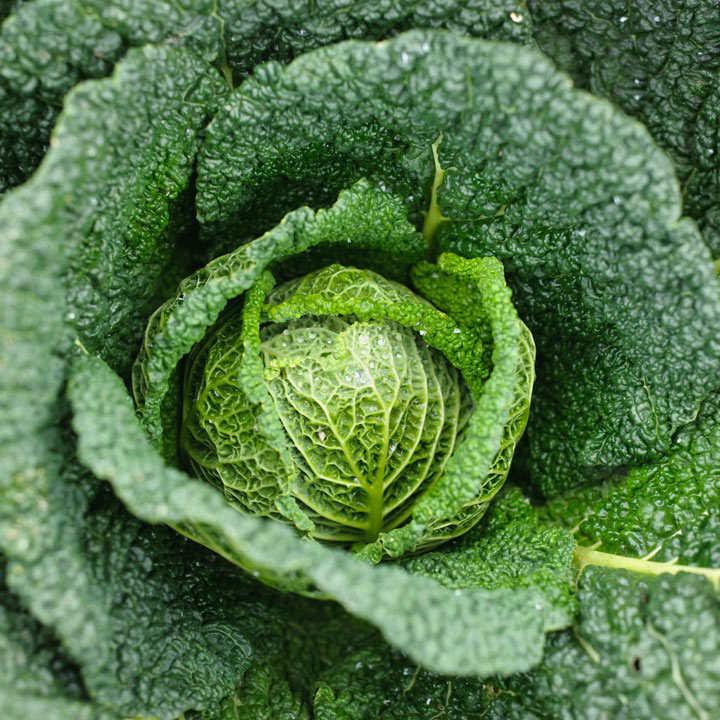 Cabbage Savoy (Organic) Seeds - Vertus