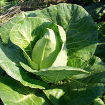 Cabbage (Organic) Seeds - Chateaurenard
