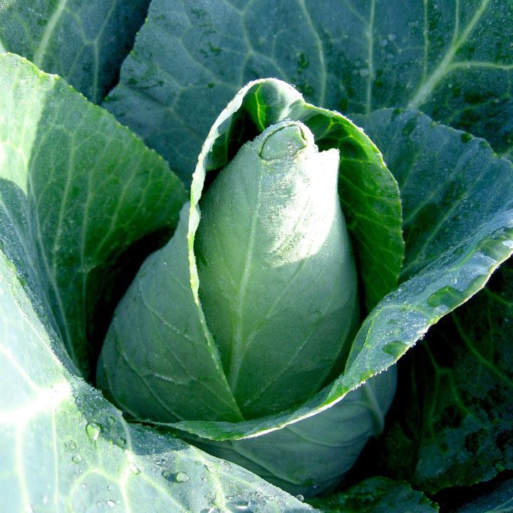 Cabbage (Organic) Seeds - Caraflex F1