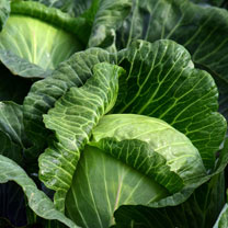 Cabbage Seeds - Kilaton F1