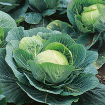 Cabbage Plants - Kilazol