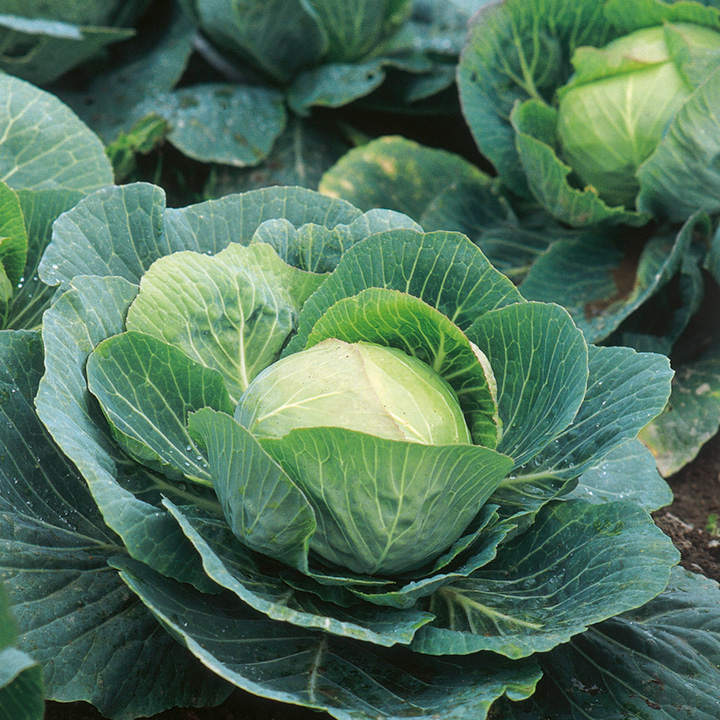 Cabbage Seeds - Kilazol F1