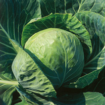 Image of Cabbage Seeds - Spring Hero F1