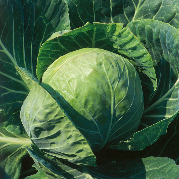 Cabbage Spring Hero F1 Seeds - Dobies-4045