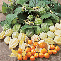 Image of Cape Gooseberry Seeds