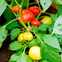 Pepper Seeds - Almapaprika