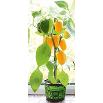 Pepper Sweet Plant - F1 Pillar Yellow