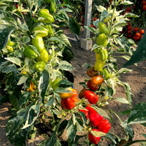 Pepper Grafted (Sweet) Plants - Confetti