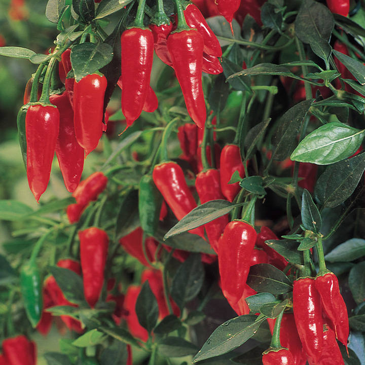 Pepper Chilli Seeds - Apache F1