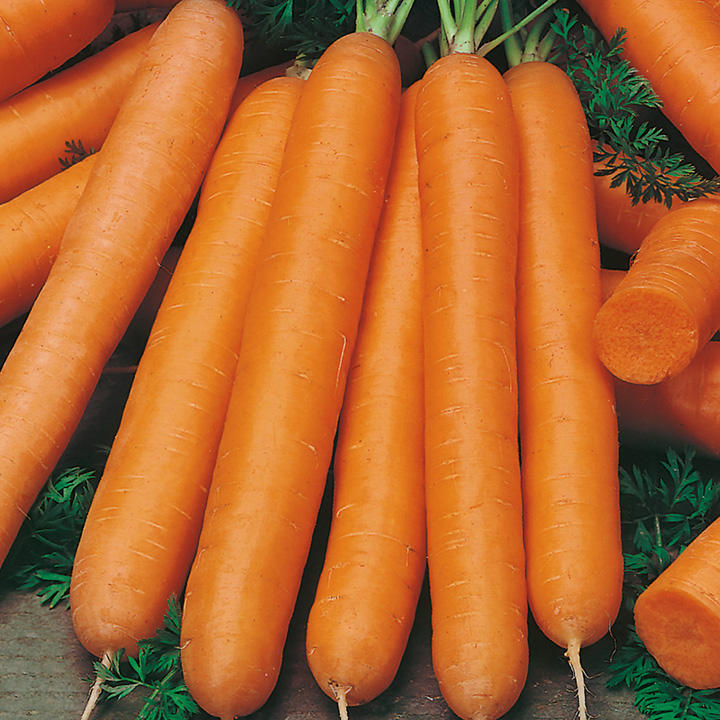 Carrot Seeds - Maestro F1