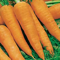 Carrot (Organic) Seeds - Autumn King 2