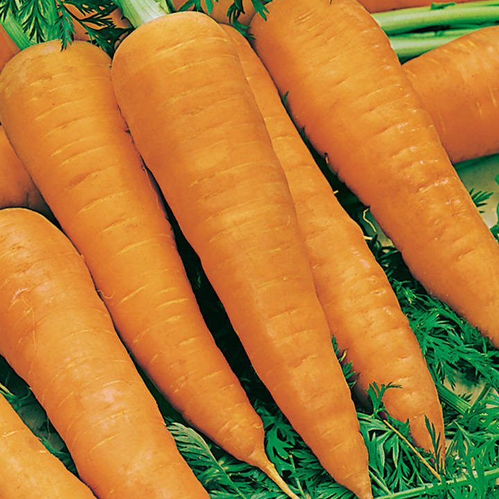 Carrot (Organic) Seeds - Autumn King 2