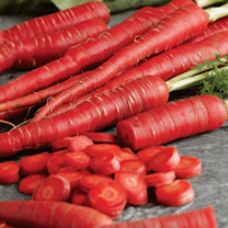 Image of Carrot Seeds - Samurai Seeds