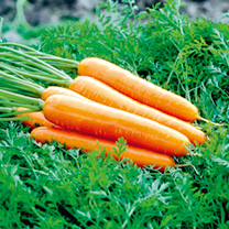 Image of Carrot Seeds - Artemis F1