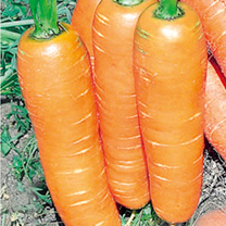 Image of Carrot Seeds - Flyaway F1