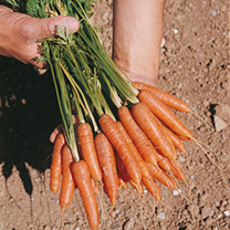 Carrot Seeds - Ideal Red