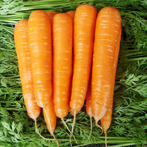Carrot Seeds - Match F1